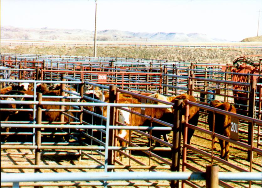 cattle in allely